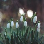snowdrops Gloucester
