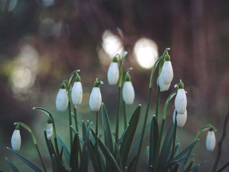 snowdrops Gloucester